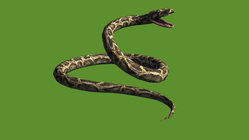 Snake & jungle carpet python open mouth attack,sliding decorative non venomous,wild animal herpetology background.