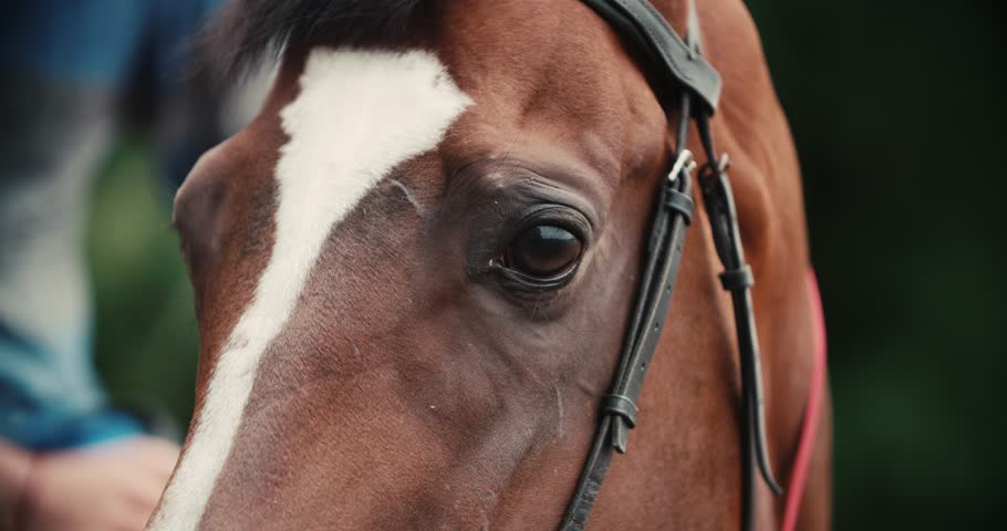 thoroughbred race horse brown extreme close-up face before a race, serious look, slow motion #20245201