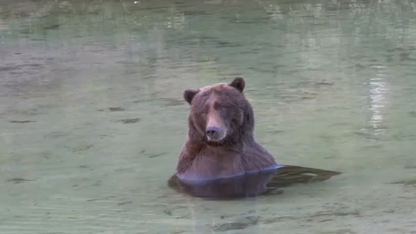 Grizzly Bear relaxing in water scratching his ear
