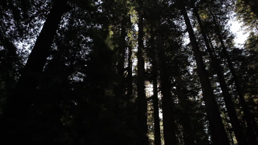 Dark, dense redwood trees