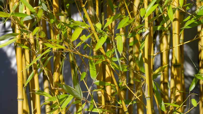 e4ef29b010da Beautiful Bamboo Breeze in the Stock Footage Video (100% Royalty ...
