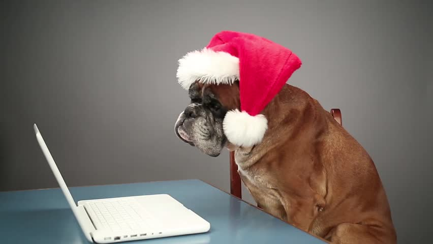 Boxer dog with Santa hat working on laptop.