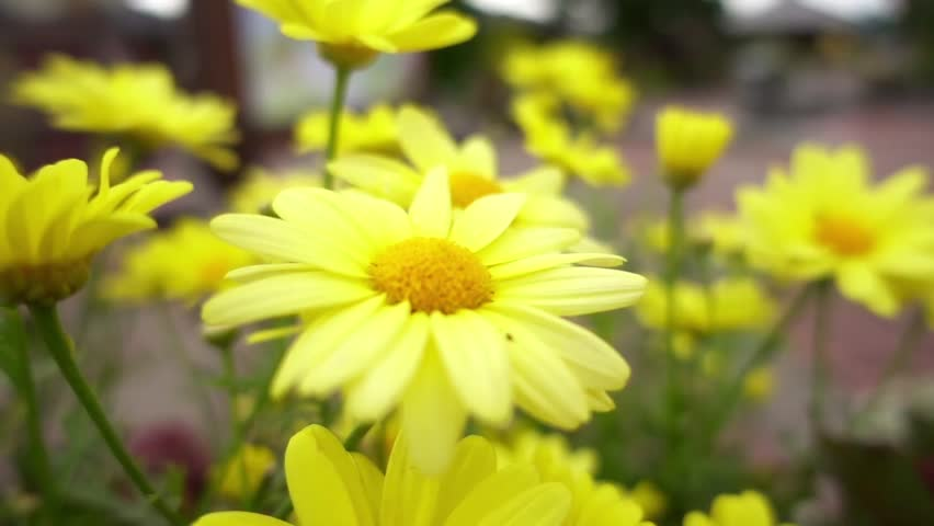 Prächtig Chrysanthemum Indicum is a Flowering Stock Footage Video (100 #DY_45