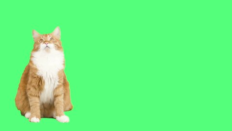 funny red cat looks and mews on a green background