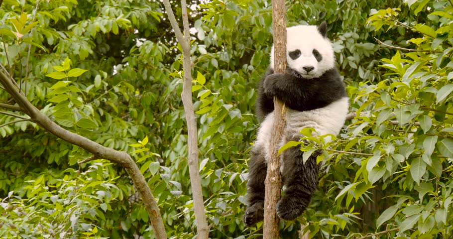 Tired baby panda cub sitting in tree in Chengdu China