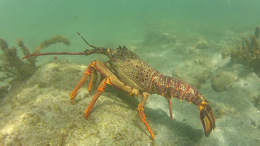 Snorkeler discovering a huge Rock Lobster at marine reserve Goat Island in New Zealand