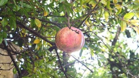 red pomegranates on the tree