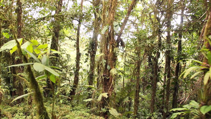 Walking through cloudforest on the highest point of the Coastal Range in Western Ecuador - HD & Tropical Canopy Palm Trees Rain Forest Light Rays Maui Stock ...