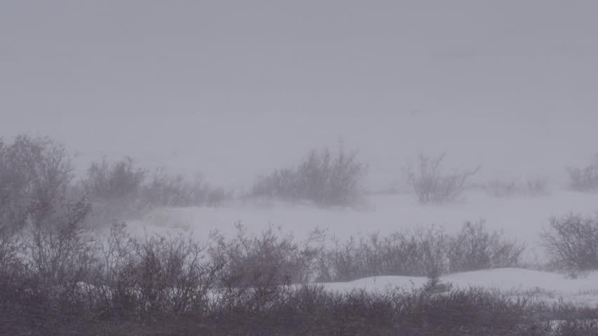 Polar bear almost hidden by blizzard snow in willows | Shutterstock HD Video #20677048