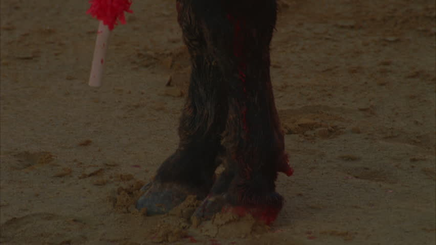 day Tight hooves feet bull runs, see matadors cape lances hanging from bloody shoulders bull Bullfighting, Spain