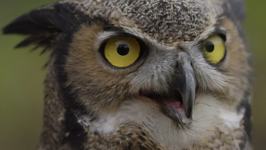Horned owl slow motion look around  | Shutterstock HD Video #20783158