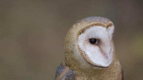 Barn Owl Close up dancing face against background