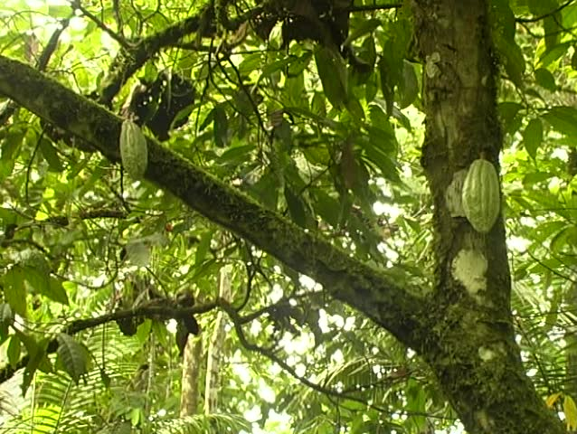 Green Cocoa pods on a cocoa tree (Theobroma cacao)