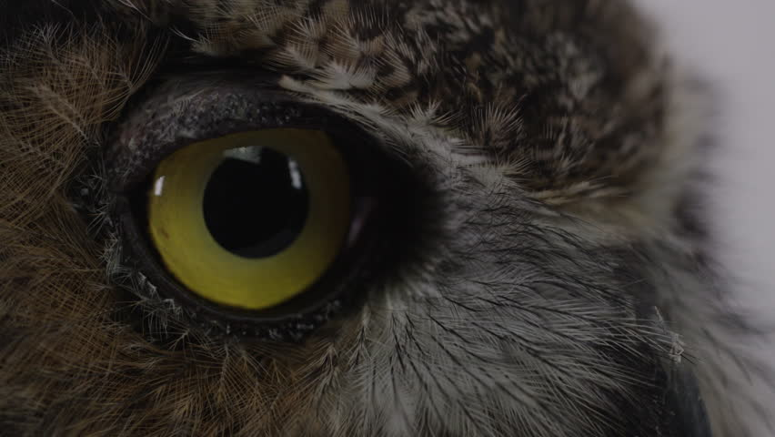 Great horned owl extreme close up on feathers and eyes    Shutterstock HD Video #20967688