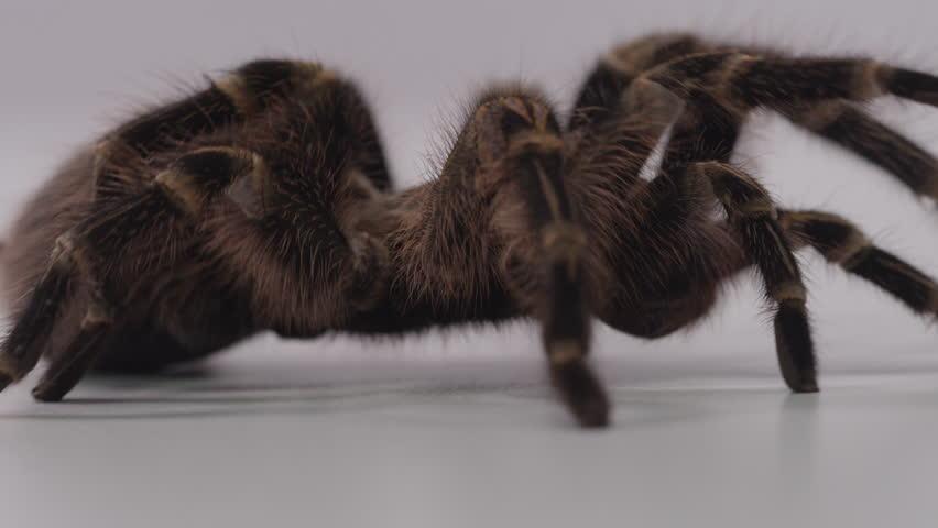 Tarantula crawl off screen right on white screen  #20976085