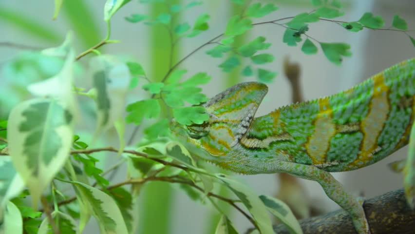 Chameleon moves slowly through the green leaves