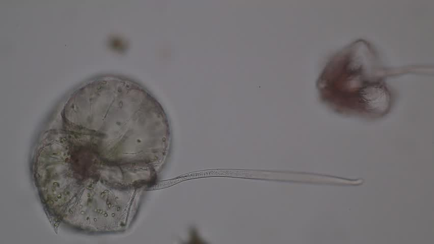 Header of dinoflagellate