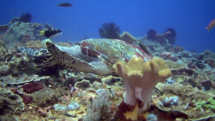 Hawksbill turtle (Eretmochelys imbricata) eating coral #21076918