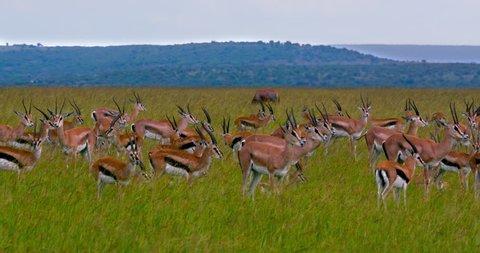 Thomson'S Gazelle & Topi; Maasai Mara Kenya Africa