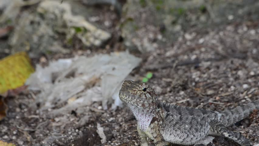 A Cute Agama Lizard (Oriental Garden Dragon) On Floor.   HD Stock Video