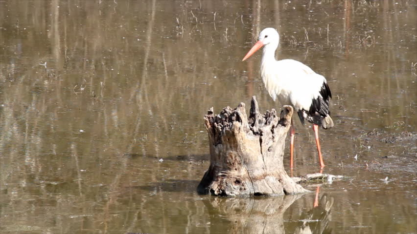 white stork in swamp