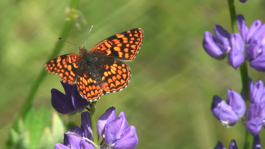a butterfly on summer lupine