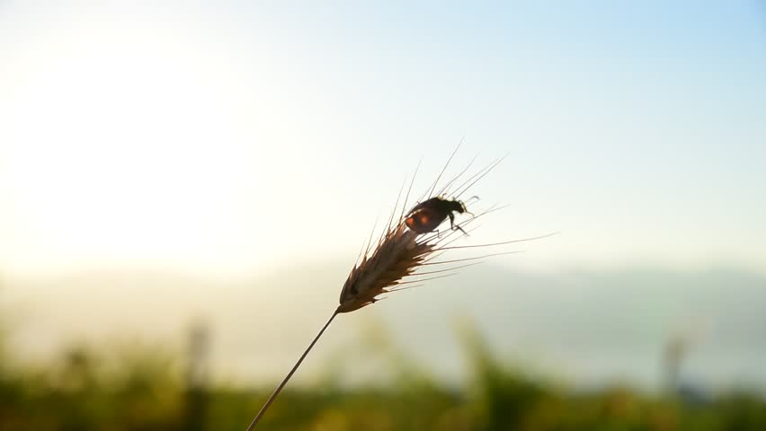 Silhouette of a beetle on spike let grass. Macro nature photography fauna | Shutterstock HD Video #21194974
