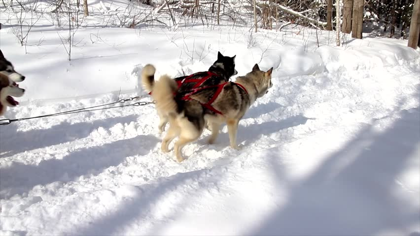 A Dogsled Team Races in Northern Ontario, Canada
