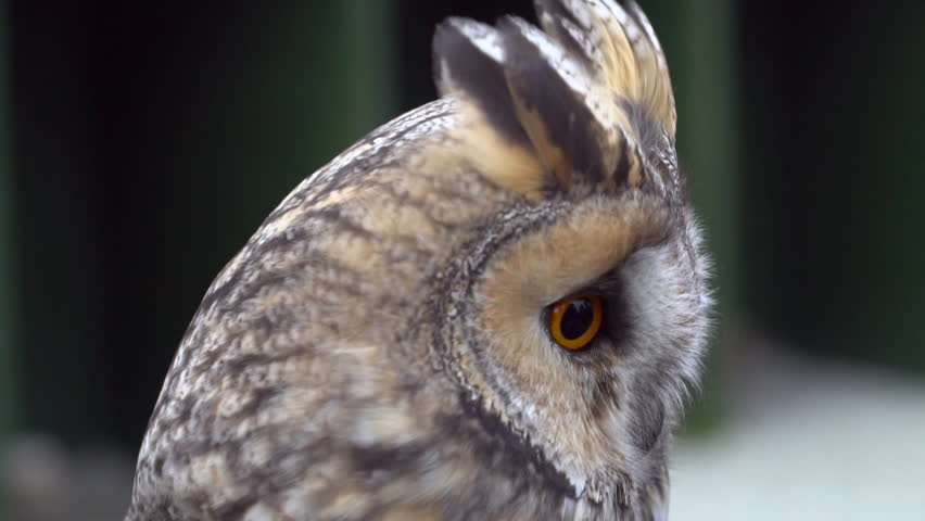 European Eagle Owl (Bubo bubo) Blinking and turning head on a windy day in slow motion #21233458
