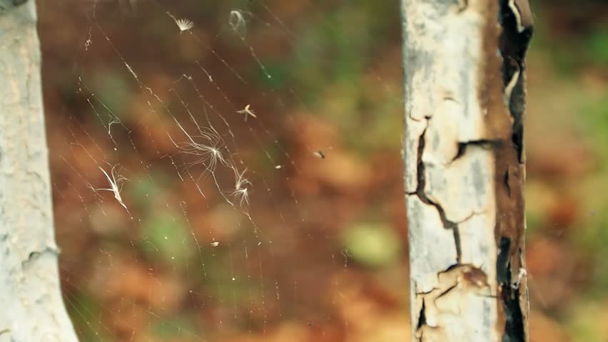 Obsolete Fence With Cracked Paint Coating. Spiderweb With a Few Fuzzes and Trapped Flies. Closeup. | Shutterstock HD Video #21257410