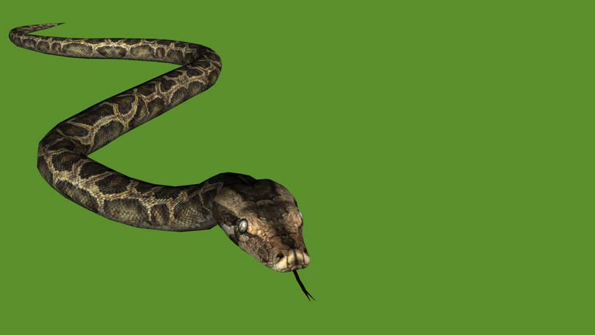 Snake & jungle carpet python slide crawling attack,sliding decorative non venomous,wild animal herpetology background. cg_01917