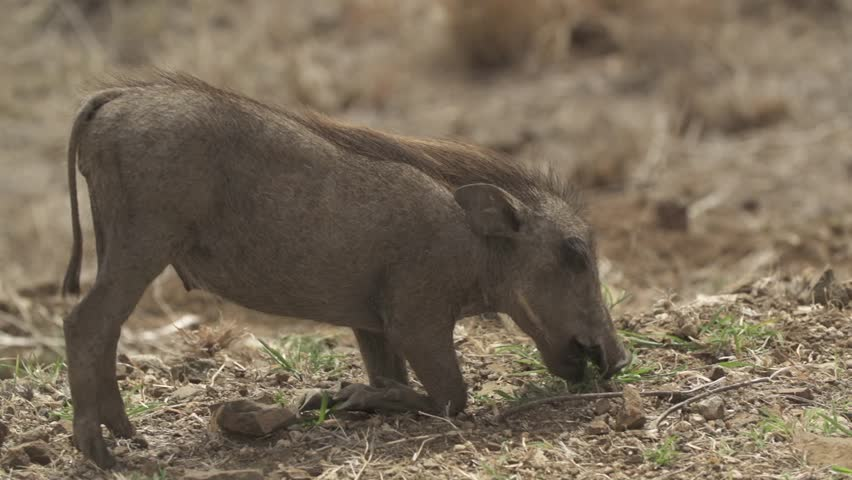 Young warthog on knees eating grass.