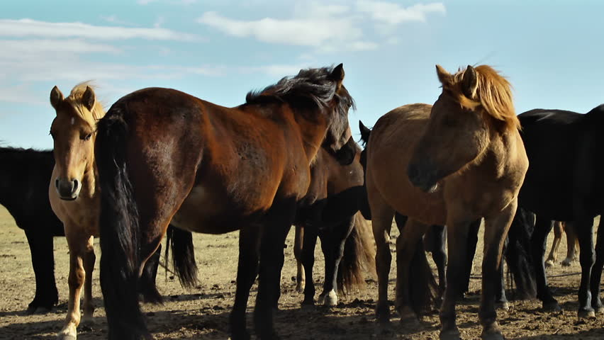 Herd of horses waiting for the next spring on a sunny, but cold day in the mongolian steppe. | Shutterstock HD Video #21400927