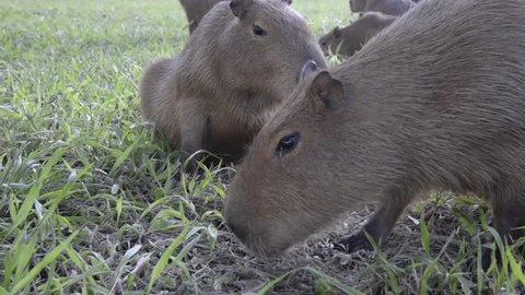 Capybara in Mato Grosso do Sul, Brazil
