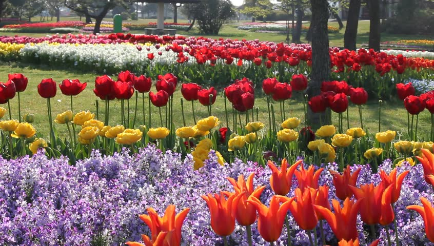 Colorful Tulip Flower Garden Stock Footage Video 100 Royalty Free