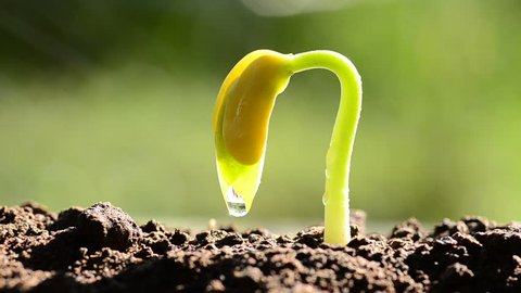 Seedling agriculture and new life concept, Little plant grow over back soil with sunlight and rain water drop
