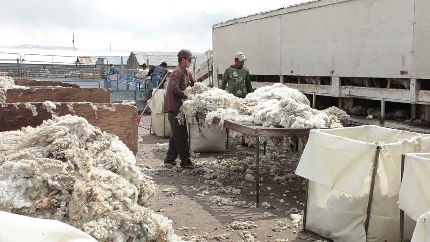 FOUNTAIN GREEN, UTAH - APRIL 12: Shearers sort and grade the quality of wool for sale on April 12, 2012 at sheep ranch in Fountain Green, Utah.