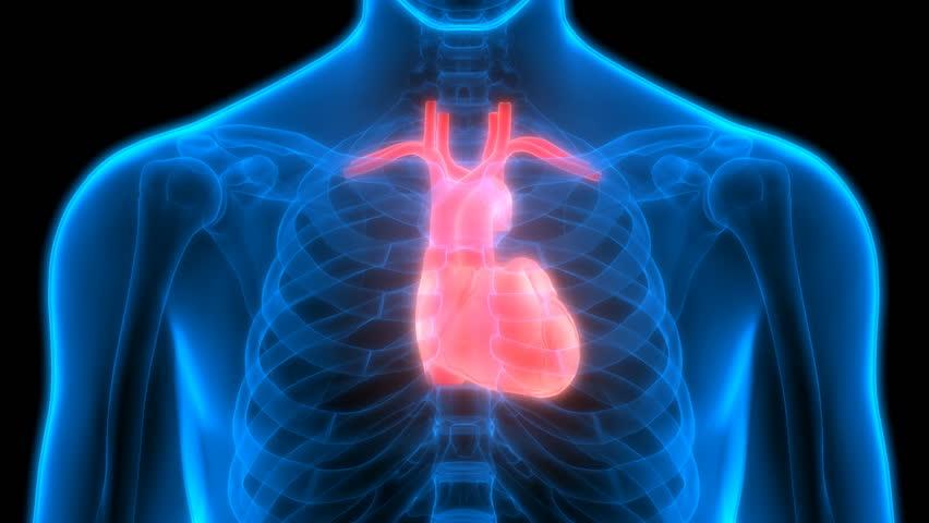 heart in human body pdf