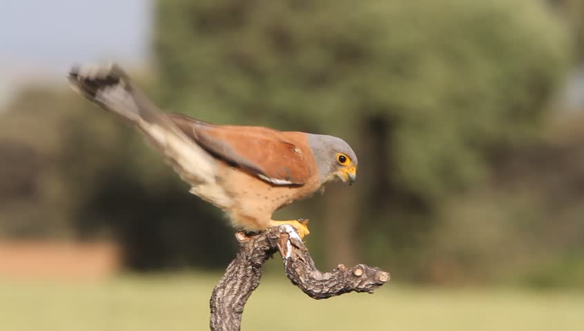 Male of Lesser kestrel eating a big insect. Falco naumanni