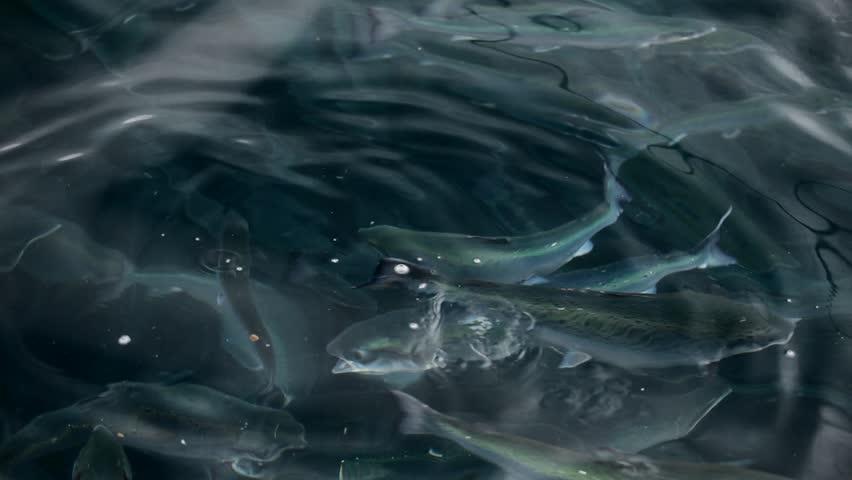 Salmon Farm. Fishes eat artificial food. Salmon feeding. Underwater