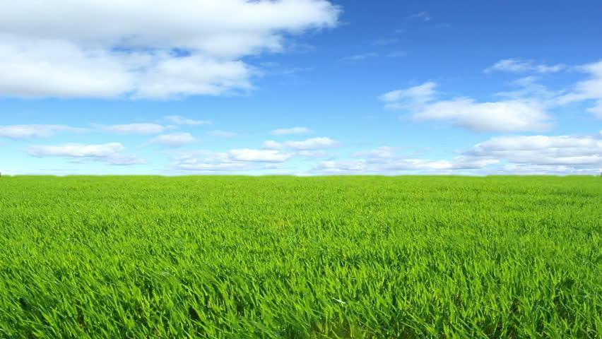 grass background. green barley in the breeze and sunny sky hd stock video clip grass background