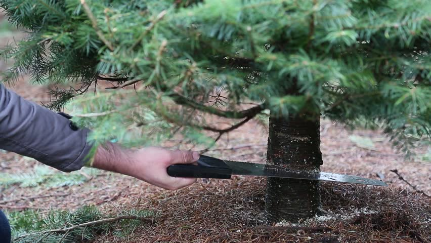 Cutting Down A Christmas Tree. Using Saw On Tree Trunk. Sawing A Live  Christmas