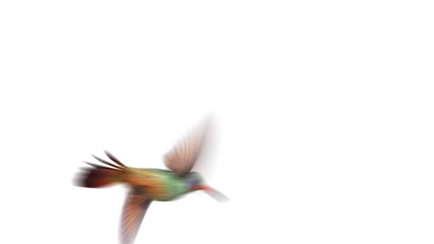 Humming bird, four 3d animations. alpha-channel is integrated into the footage, you can easily change the background. copy bird layer if you want to make the wings more sharp