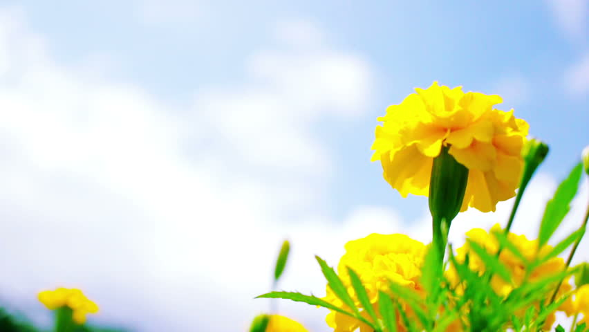 Yellow Marigold Flowers Blown In Stock Footage Video 100