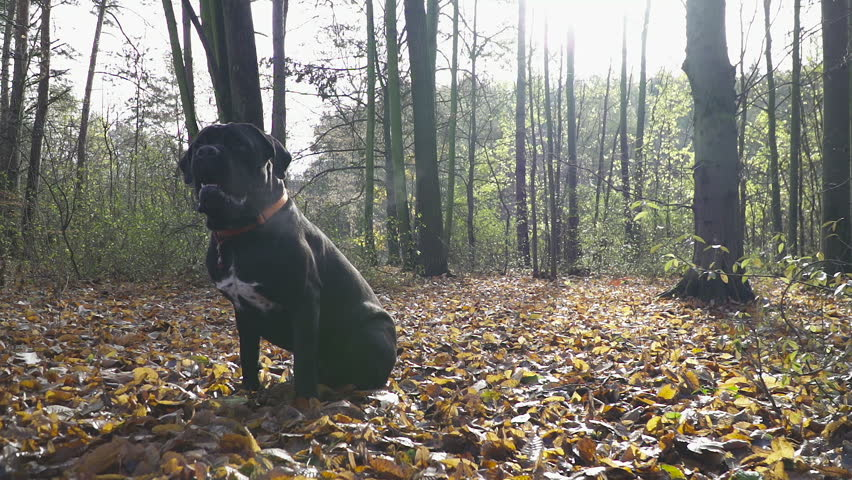 Junior Dog Cane Corso sitting on the leaves in Autumn Forest. | Shutterstock HD Video #22155298