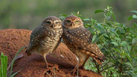 Adorable owls (Athene cunicularia)