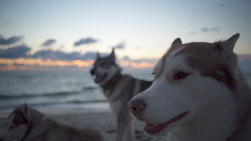 Three cute huskies with beautiful eyes peacefully...