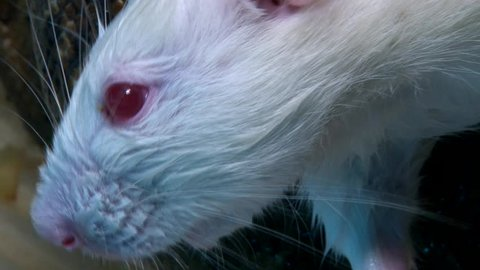 Albino rat with red eyes filled with pain and blood, attacked by constrictor snake, closeup shot