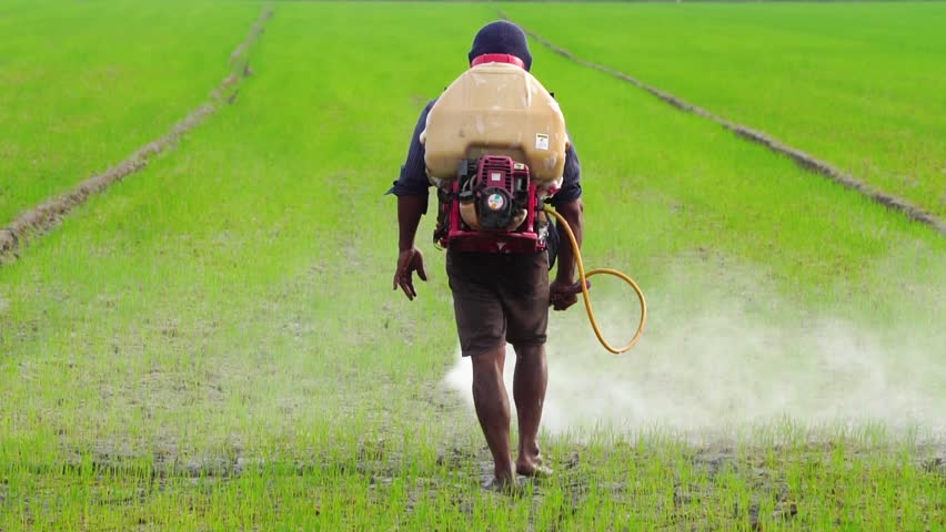 Slow Motion : Thai farmer spraying chemical to green young rice field