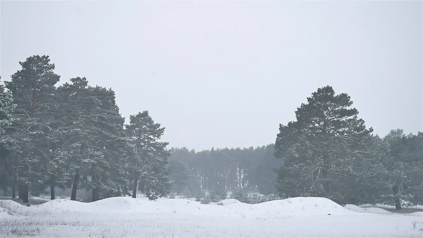 Snowstorm Blizzard The Woods Snowing Winter, Christmas Tree And Pine Nature  Forest Landscape   HD